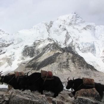Yak Attack on Everest Gokyo Cho L Pass Trek